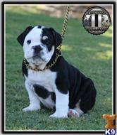 english bulldog puppy posted by TwoTuffBulldogs