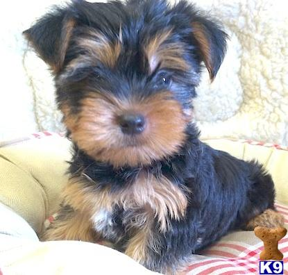 yorkshire terrier puppy posted by VANITYPUPS