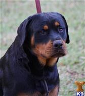 rottweiler puppy posted by VONDIVERHUS