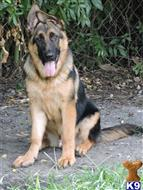 german shepherd puppy posted by Van Der Sar Kennel