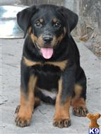 rottweiler puppy posted by Van Der Sar Kennel