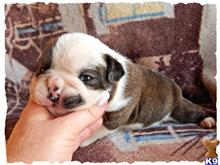 old english bulldog puppy posted by VintageBulldogges