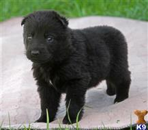 german shepherd puppy posted by VomAnfang