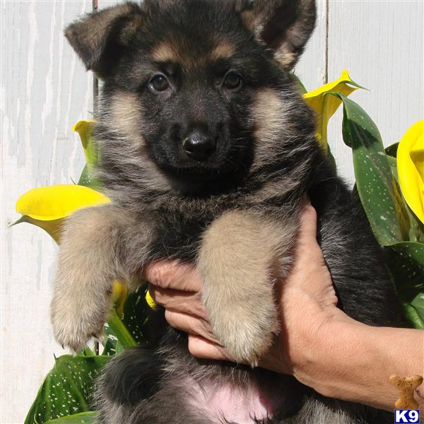 purebred german shepherd cost german shepherd puppy for sale cute purebred german 4746