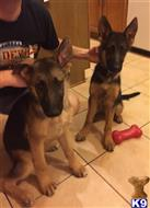 german shepherd puppy posted by VonTscherokeseGermanShepherds