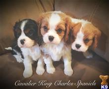 cavalier king charles spaniel puppy posted by Vscarl