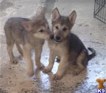 wolf dog puppy posted by WDpups1171