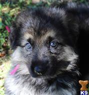 german shepherd puppy posted by WOLVESDENRANCH