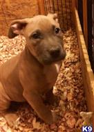american pit bull puppy posted by Walkertaylor
