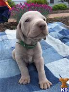 weimaraner puppy posted by Warfordsburgweimaraners