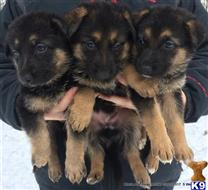 german shepherd puppy posted by Wendy001