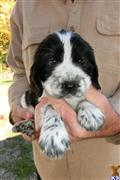 english springer spaniel puppy posted by Westfalen