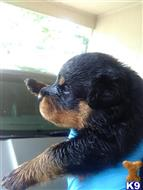 rottweiler puppy posted by WillieC7176