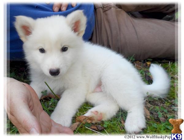 white wolf dog puppies