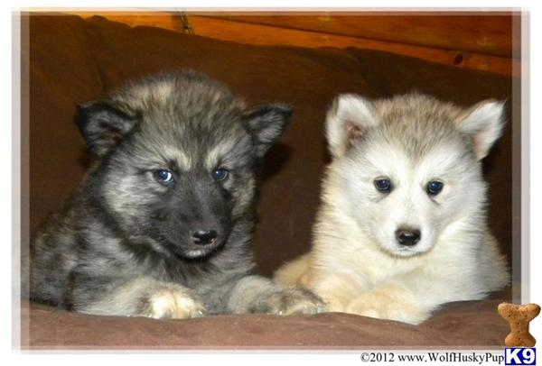 Wolf Husky Pups Picture 1