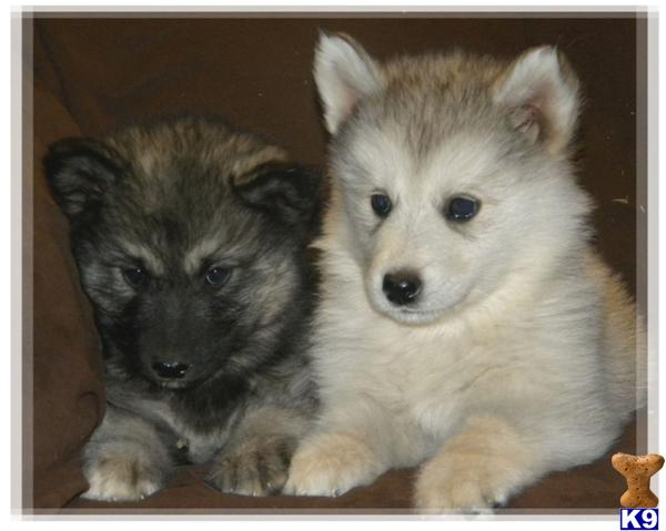 Wolf Husky Pups Picture 2