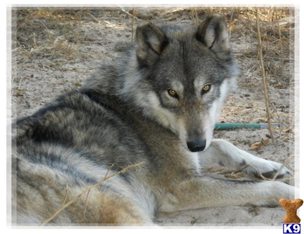 Wolf Dog Puppy for Sale: WOLF HYBRID CUBS IN FLORIDA 6 Years old