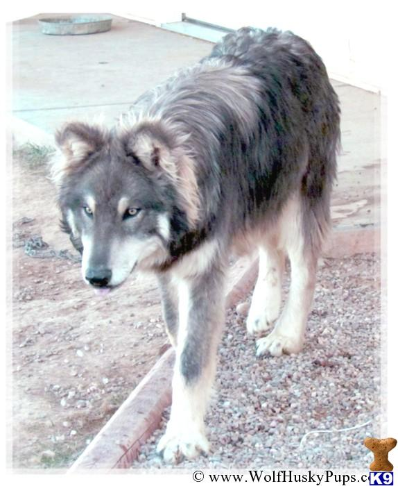Wolf Dog Dog for Sale: AMAZING WOLF CROSS PUPS 4 Years old