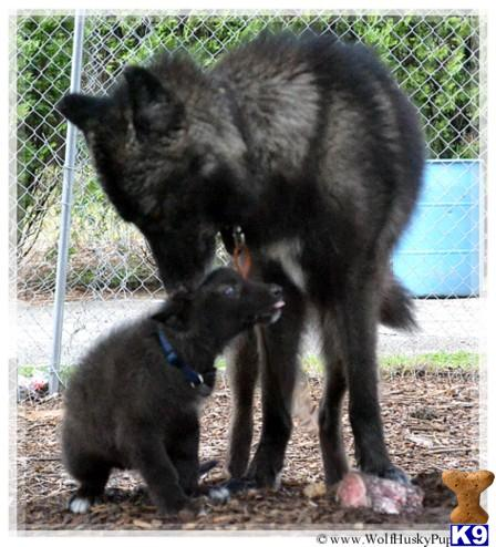 Wolf Dog Puppy for Sale: BLACK PHASE CUBS 4 Years old