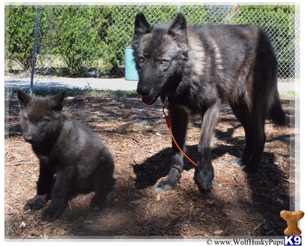 Wolf Dog Puppy for Sale: BLACK PHASE 4 Years old
