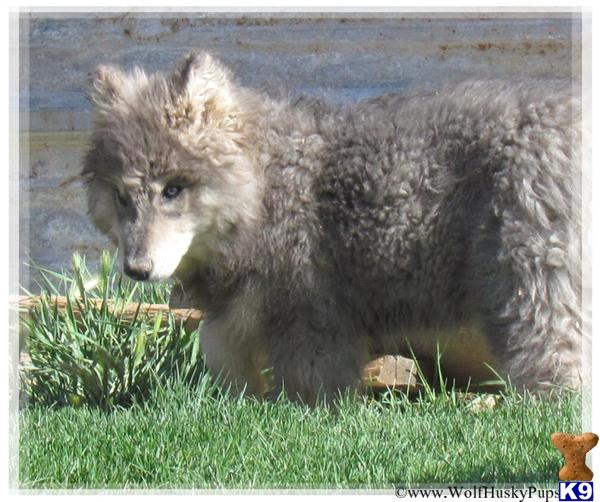 Wolf Dog Dog for Sale: RARE BLUE COAT WOLF DOGS 4 Years old