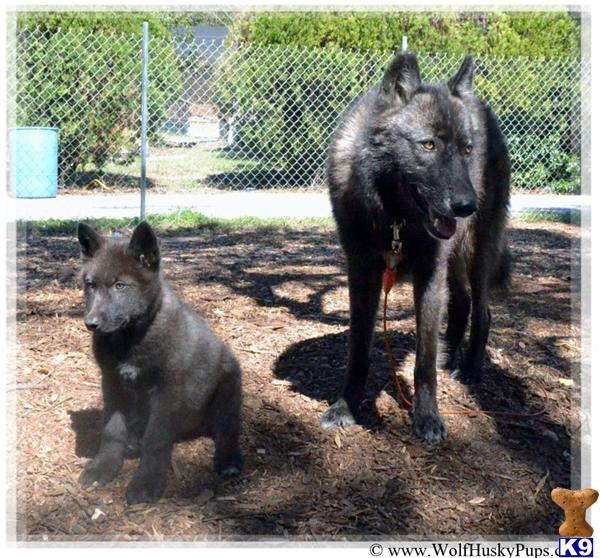 Wolf Puppies For Sale