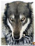 Wolf Dog Puppies for sale in Florida