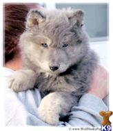 wolf dog puppy posted by Wolf Husky Pups