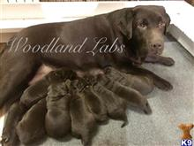 labrador retriever puppy posted by Woodland Labs