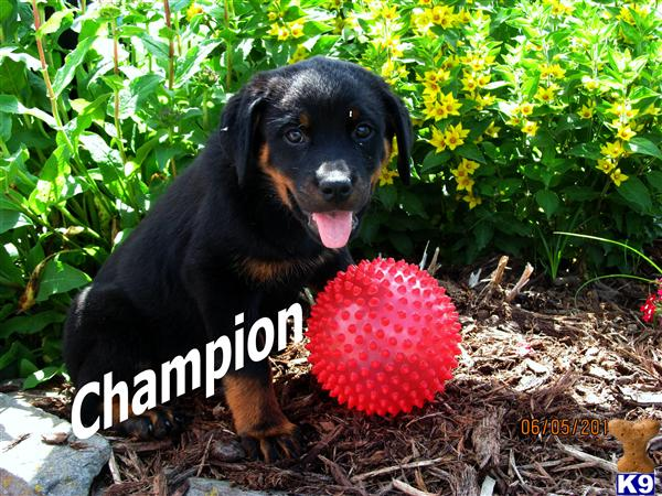 rottweiler puppy posted by Wrinkles19