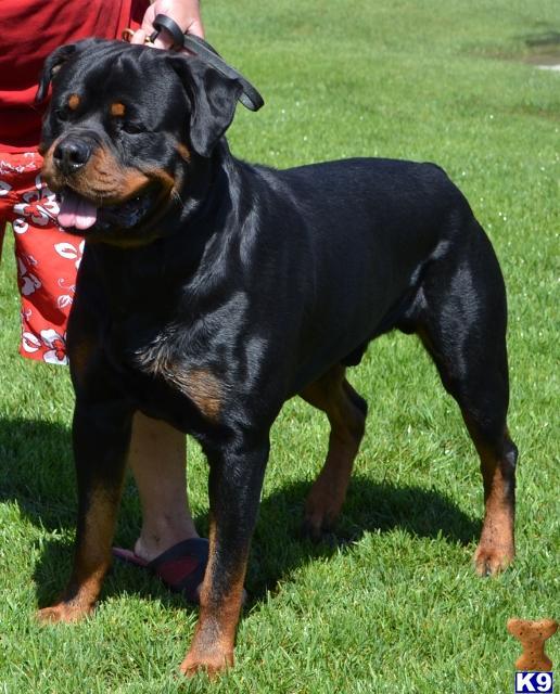 Rottweiler Stud Dog Wu Tangs Brutus 10 Years Old