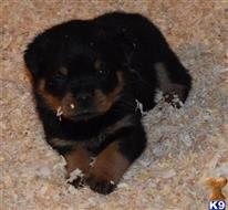 rottweiler puppy posted by Wutang