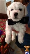 bichon frise puppy posted by YC30G0