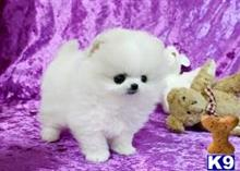 pomeranian puppy posted by abbydibby34