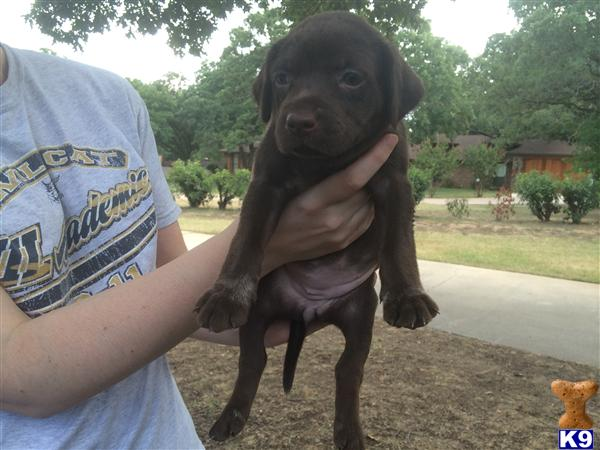 german shorthaired pointer puppy posted by aberend