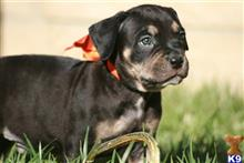 american bandogge mastiff puppy posted by ablepaws