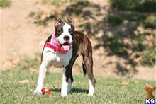 american pit bull puppy posted by ablepaws