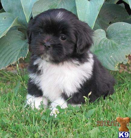 Lhasa Apso Puppies on Akc Lhasa Apso Puppy  A Lhasa Apso Pup For Sale Located In Jefferson