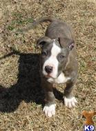 american pit bull puppy posted by adamskennels