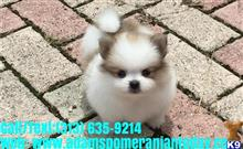 pomeranian puppy posted by adamsmercy633