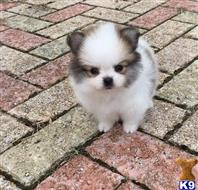 pomeranian puppy posted by adamspom1