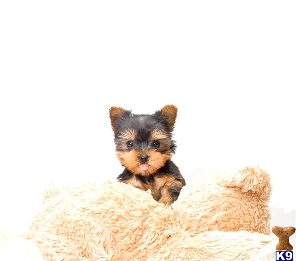 teacup yorkie puppies for sale in ohio yorkshire terrier puppy for sale buy our teacup yorkie 8778