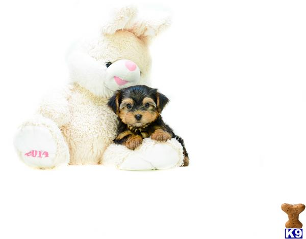 Teacup Yorkie Puppies Timmy M 614-859-2025
