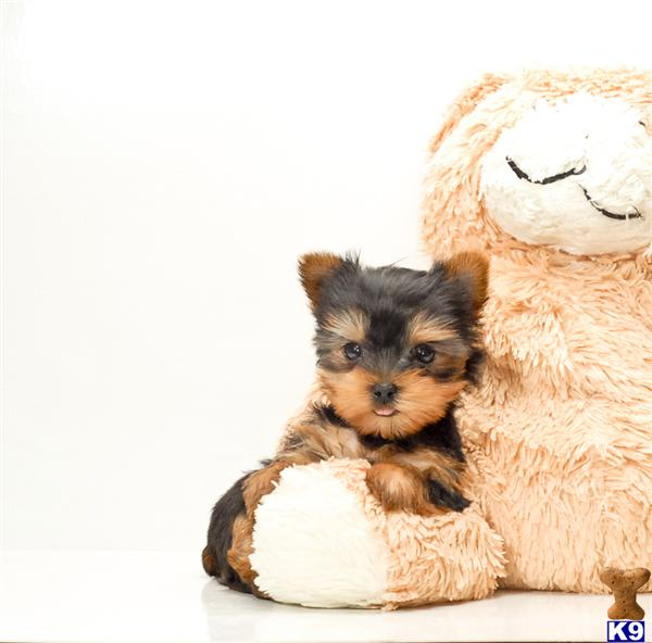 Yorkie puppies for rescue in ohio - hurricane sandy stock market