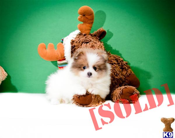 Free Download Pomsky Puppies For Sale Cleveland Ohio Picture HD ...