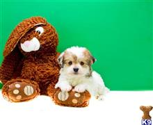havanese puppy posted by addisongood