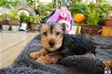 yorkshire terrier puppy posted by adorablepuppy