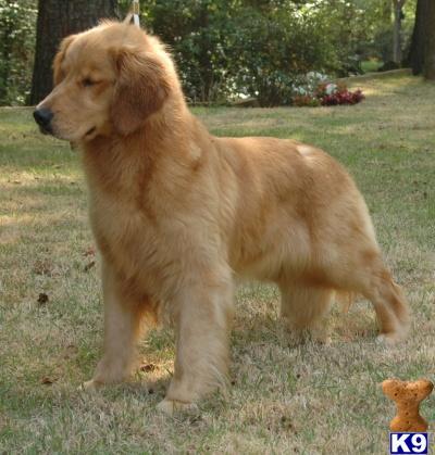 golden retriever puppy. Golden Retriever Puppies in GA