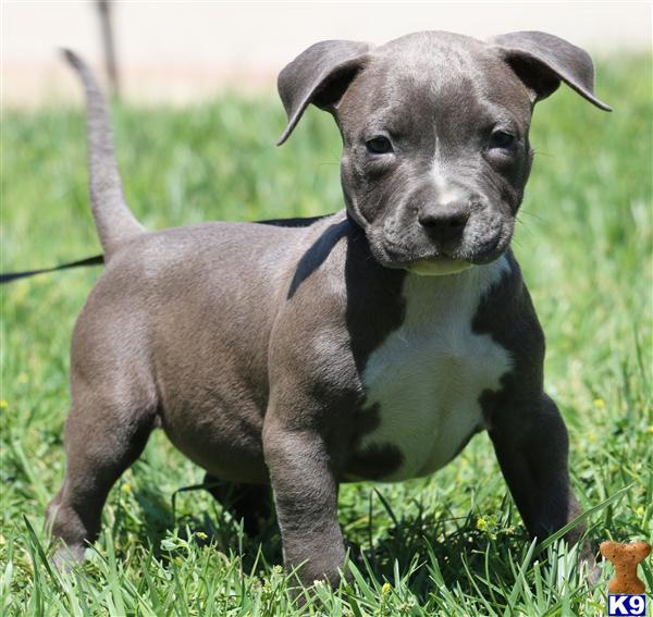 BUDDY MALE ----------- AMAZING BLUES -----------  AFFORDABLE PRICE --------- NOW AVAILABLE -------  $1000