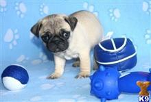 pug puppy posted by ahmedhadja35